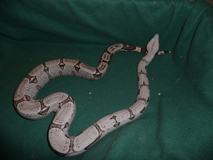 Dwarf Boa Constrictors For Sale