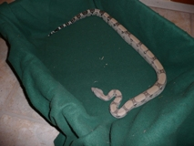 Anery Boa Constrictor For Sale