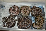 2011 baby ball pythons