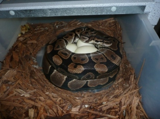 ball python eggs,bumblebee ball python