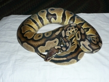 Lemon Pastel Ball Python For Sale