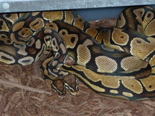 Vanilla x Pastell Ball Python