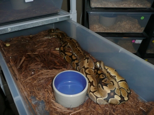 Vanilla X Spider Ball Pythons