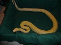 Albino Boa Constrictor For Sale